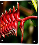 Red Scales Acrylic Print