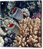 Red Sea Beauty 5 Acrylic Print