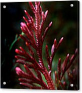 Red Selaginella Acrylic Print