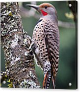 Red Shafted Flicker Vi Acrylic Print