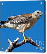 Red-shoulder Hawk Acrylic Print