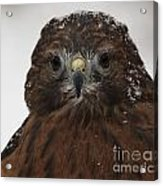 Red Shouldered Hawk Close Up Acrylic Print