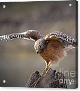 Red Shouldered Hawk Dive Acrylic Print