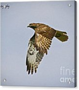 Red-shouldered Hawk Flyby Acrylic Print