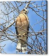Red Shouldered Hawk In Tree Acrylic Print