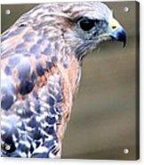 Red Shouldered Hawk Acrylic Print