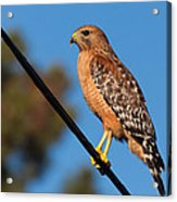 Red-shouldered Hawk On A Wire Acrylic Print
