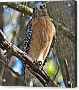 Red-shouldered Hawk On Branch Acrylic Print