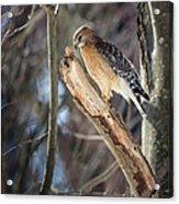 Red Shouldered Hawk Portrait Acrylic Print