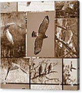 Red-shouldered Hawk Poster - Sepia Acrylic Print
