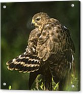 Red-shouldered Hawk Wild Texas Acrylic Print