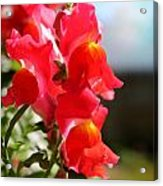 Red Snapdragons II Acrylic Print by Aya Murrells