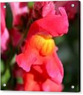 Red Snapdragons IIi Acrylic Print by Aya Murrells