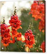 Red Snapdragons Acrylic Print