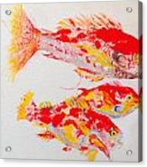 Red Snapper Family Painted Acrylic Print