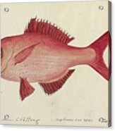 Red Snapper Fish Acrylic Print
