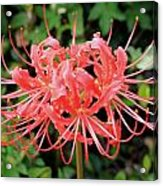 Red Spider Lily Acrylic Print