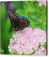 Red Spotted Admiral On Sedum - Vertical Acrylic Print