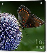 Red Spotted Purple Butterfly Gathering Nectar  Acrylic Print