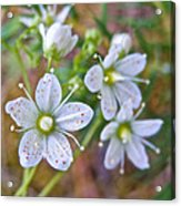 Red-spotted Saxifrage Along Horseshoe Lake Trail In Denali Np-ak  Acrylic Print