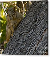 Red Squirrel   #1733 Acrylic Print