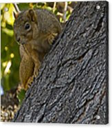 Red Squirrel    #1736 Acrylic Print