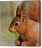 Red Squirrel 2 Acrylic Print