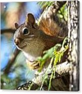 Red Squirrel In The Sun Acrylic Print