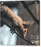 Red Squirrel Licking Dew Droplets  Acrylic Print