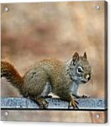 Red Squirrel On Patio Chair Acrylic Print