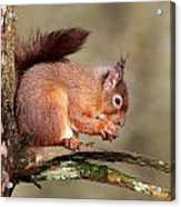 Red Squirrel Perched Portrait Acrylic Print