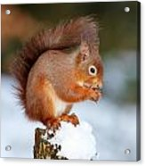 Red Squirrel Portrait Acrylic Print