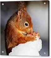 Red Squirrel With Nut In Snow Acrylic Print