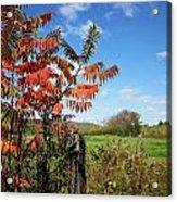 Red Sumac Tree Acrylic Print