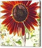 Red Sunflower Glow Acrylic Print