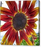 Red Sunflower Acrylic Print