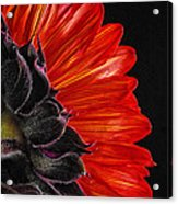 Red Sunflower Vii  Acrylic Print