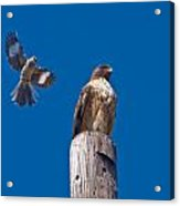 Red Tail And Friend Acrylic Print