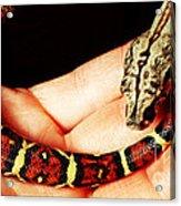 Red Tail Baby Boa - Snake - Pet Acrylic Print