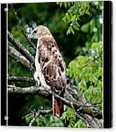 Red Tail Hawk 1 Acrylic Print