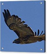 Red-tail Hawk  #7602 Acrylic Print