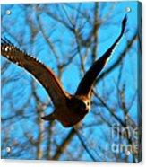 Red Tail Hawk In Flight Acrylic Print