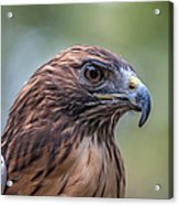 Red Tail Hawk Acrylic Print by John Haldane