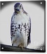 Red Tail Hawk Looking Curious Acrylic Print