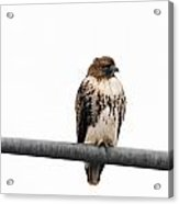 Red Tail Hawk On Light Pole Acrylic Print