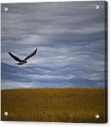 Red Tail Hawk Over The Prairie Acrylic Print