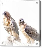 Red Tail Hawk Pair On White Background Acrylic Print