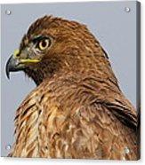 Red Tail Hawk Portrait Acrylic Print