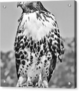 Red Tail Hawk Youth Black And White Acrylic Print