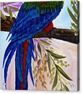 Red Tail Macaw Acrylic Print